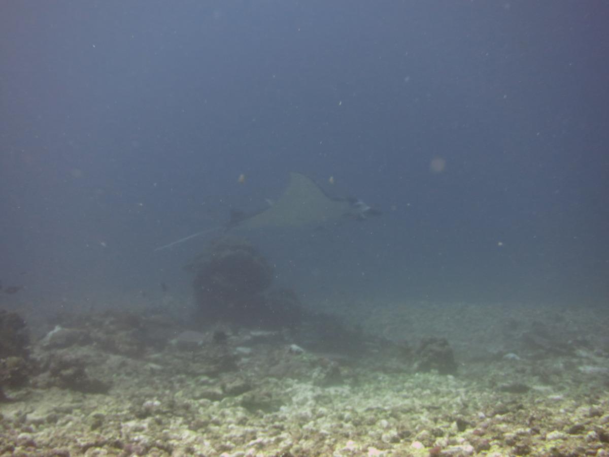 Unidentified manta